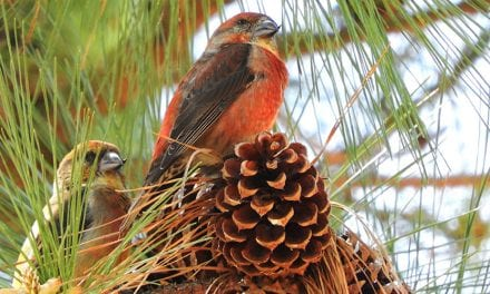 On the Trail of the Elusive Red Crossbill