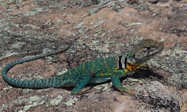 Study: Fire Suppression in the Ozarks Degrades Lizard Habitat