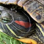 Tallying Arkansas' Turtles