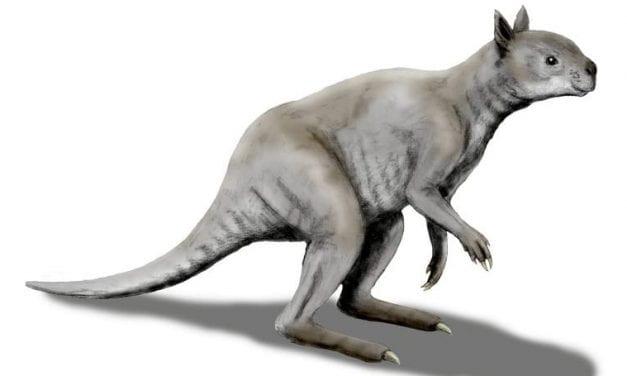 Giant Kangaroo Had Crushing Bites