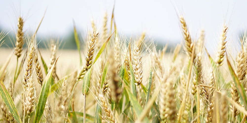 Study: Climate Change Could Cause Drought in Wheat-Growing Areas