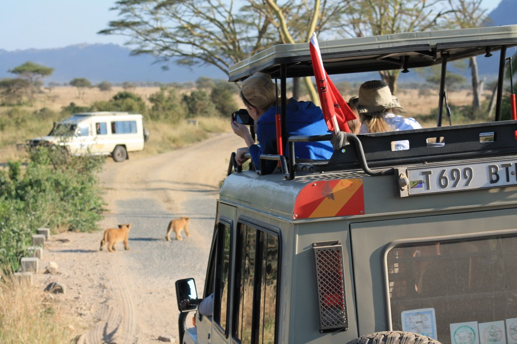 girl in a safari vehicle snaps a photo of a lion crossing the road.