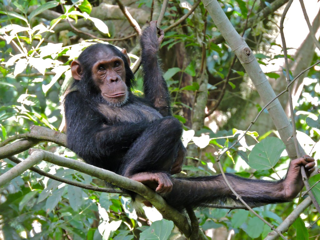 chimp hangs out in a tree and looks at camera