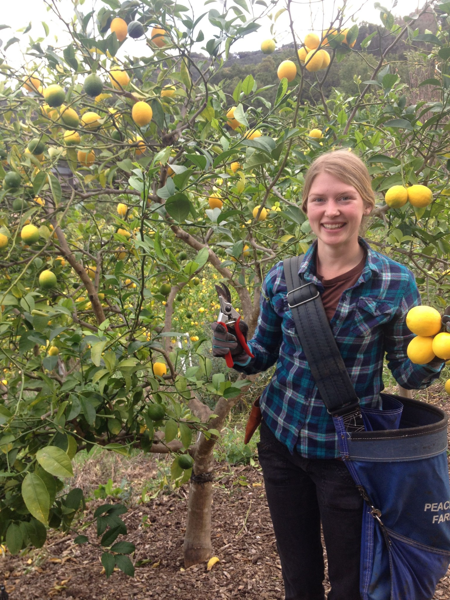 Young woman wields clippers and lemons in an orchard.