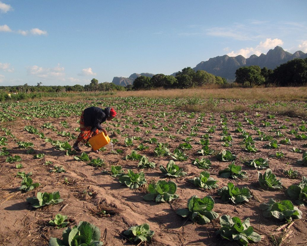 An apprentice waters cabbage plants by hand.