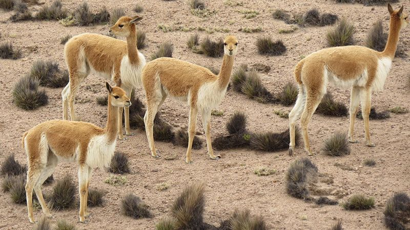 A Day in the Life of a Vicuña