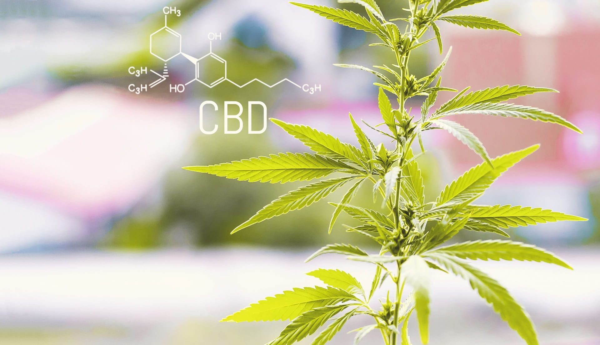 photo of marijuana plant, with chemical structure of CBD noted.