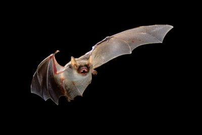 Fruit bat in flight.