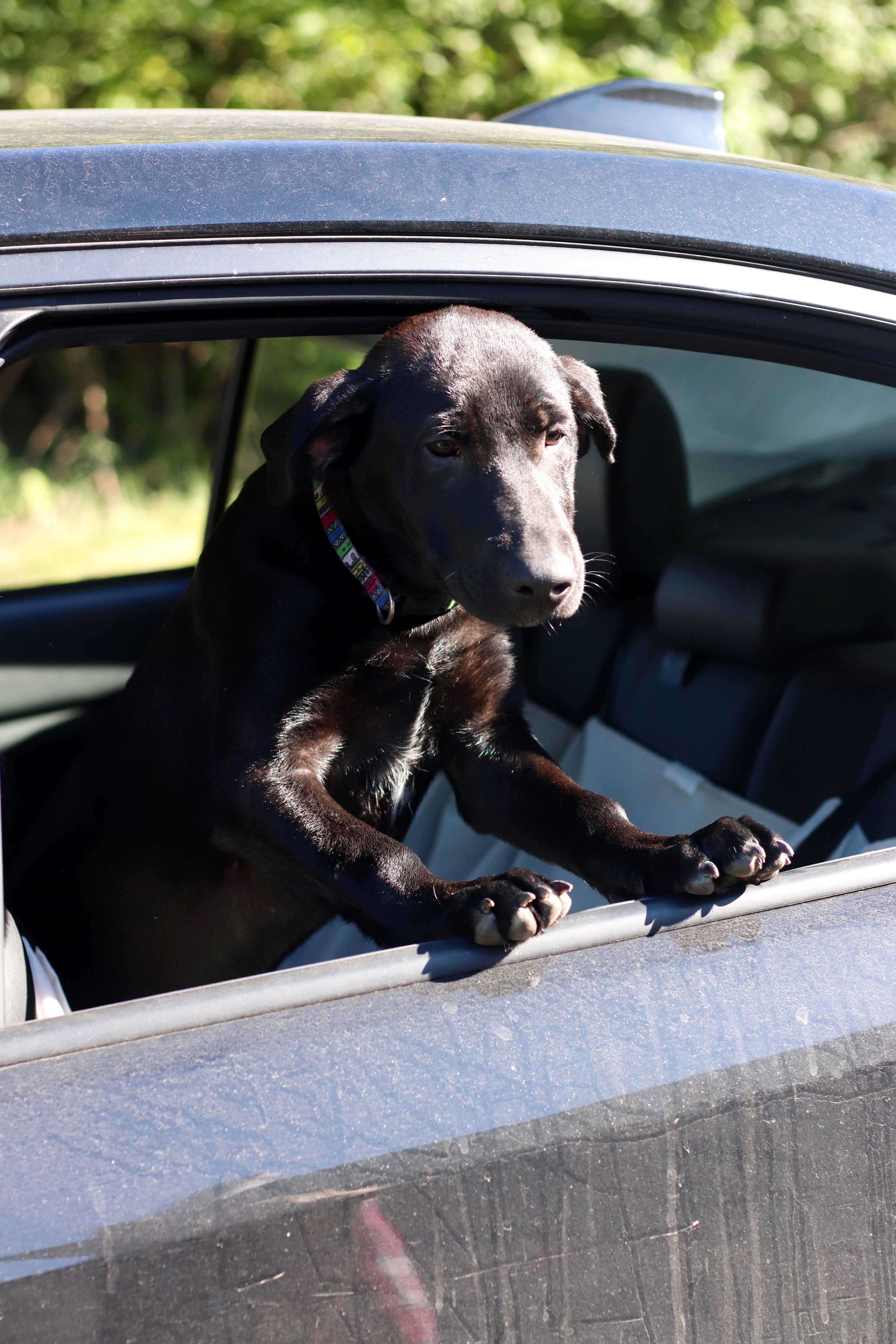 a Black Labrador puppy holding its head out of a car window