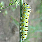 Black swallowtail caterpillar (parsleyworm)