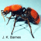 Red velvet ant; cow killer