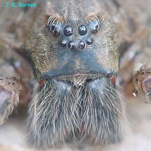 Dark Fishing Spider Arthropod Museum