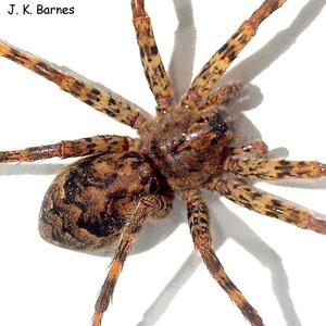 Dark Fishing Spider | Arthropod Museum