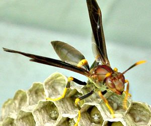Ringed paper wasp