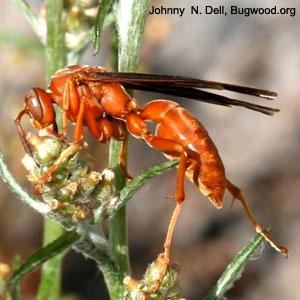 red wasp arthropod museum
