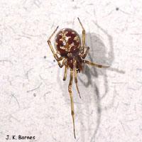 Triangulate Cobweb Arthropod Museum House Spiders
