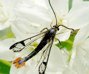 Maple clearwing moth