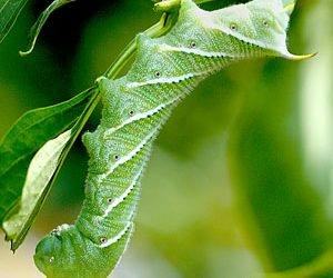 Carolina sphinx, tobacco hornworm