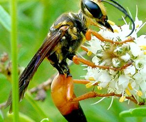Golden digger wasp, great golden digger