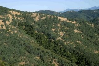 Blue oak woodland (pale green) and live oak woodland (dark green in draw) at the University of California Hastings Natural History Reserve in the upper Carmel Valley (HAS).