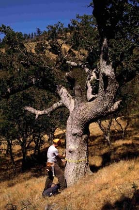 Daniel Griffin measures of the diameter of a 500-year old blue oak tree at Figueroa Mountain on the Los Padres National Forest (FIG).