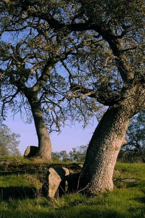 Two-hundred to 300-year old blue oak trees in a picturesque savannah setting at the San Joaquin Experimental Range (SJR).