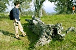 Jesse Edmondson examines a sub-fossil blue oak log at the SJR.