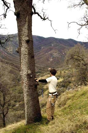 Jesse Edmondson samples a blue oak with a view above the North Fork of the Kaweah River in Sequoia National Park (KAW).
