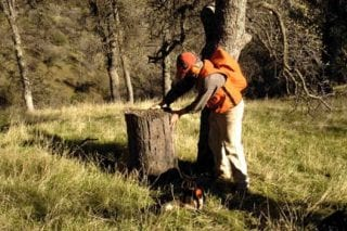 David Stahle examines a CCC-era blue oak stump at the Sequoia National Park (KAW).