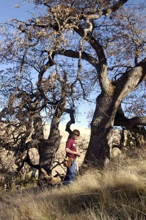 Sampling a living blue oak near the lower forest border at the Windwolves Preserve (LOB).