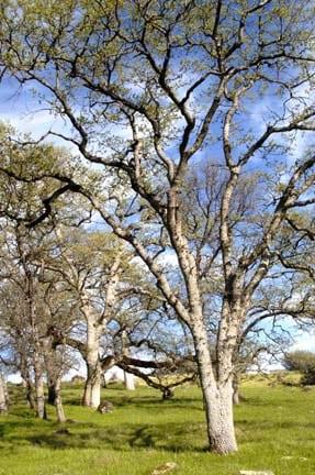 Mature blue oak trees at Bear Creek in the Mt. Lassen foothills region (BCC).