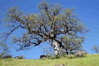 A 350-year old blue oak tree displays its heavy and craggy limbs near Bear Creek Canyon (BCC).
