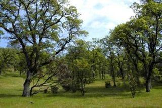 Blue oak trees and manzanita at Lake Oroville State Recreation Area (FE2).