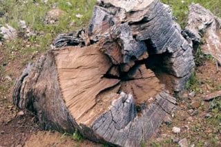 Unfortunately, this 600-year old blue oak was felled for firewood on the Lassen National Forest, but the stump yielded a fine tree-ring cross-section with well over 500 rings (FI2).