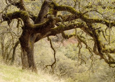 A 350-year old blue oak in Sequoia National Park (KAW).