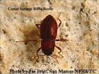 Comal_riffle_beetle