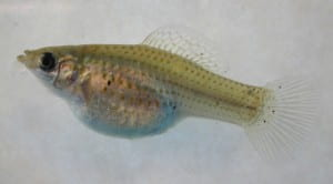 Female sailfin molly