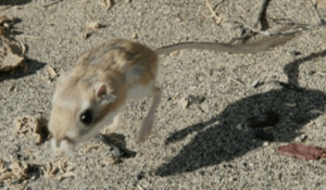 Kangaroo Rats Veech Research Group In Ecology