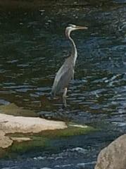 Great Blue Heron on Pedernales River