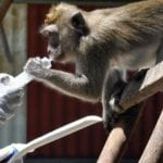 cynomolgus macaque has been trained to voluntarily take medication