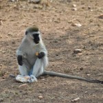 Snacking Vervet monkey