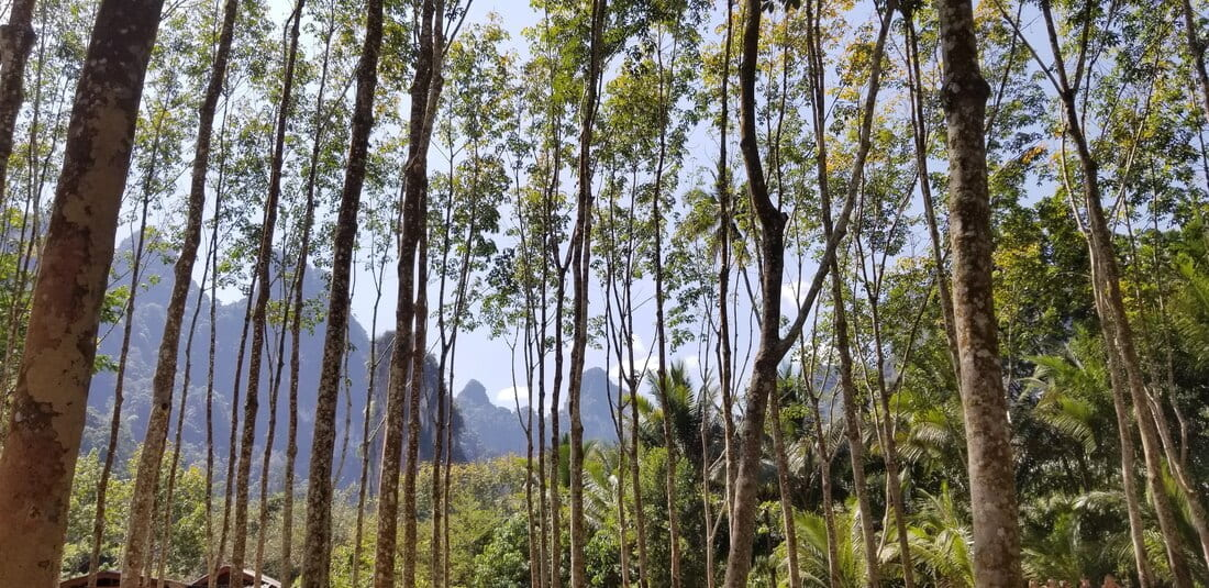 A shot of the mountains through tall skinny trees in Kuraburi.