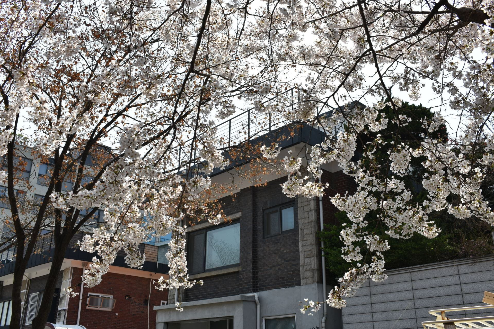 Cherry trees in front of a building.