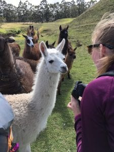 A student clutches her camera as a herd of friendly llamas approach.