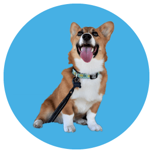 A corgi on a blue background