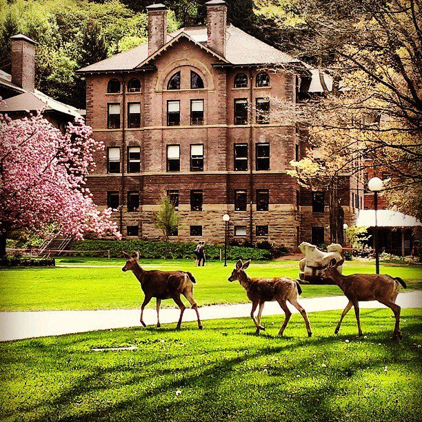 Deer in front of Old Main
