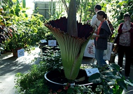 "The Titan Arum plant named ""Woody"" blooms May 14 at OSU's Biological Sciences greenhouse."