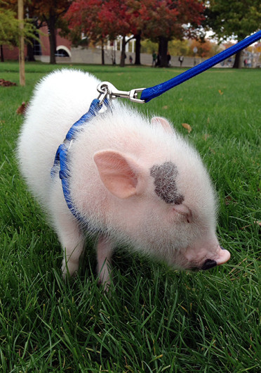 Calvin, a 7-pound teacup potbelly pig, poses for photos on the Oval. Credit: Andrea Henderson / Asst. multimedia editor