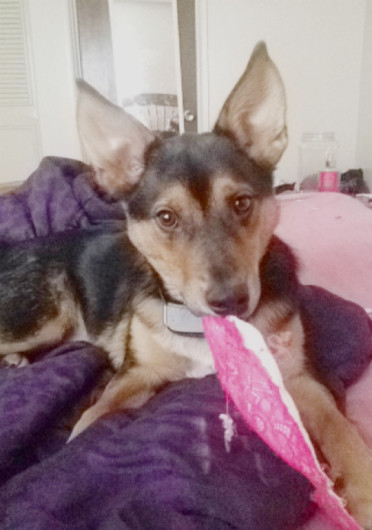 Chaz is a 10-month-old Australian cattle dog mix.