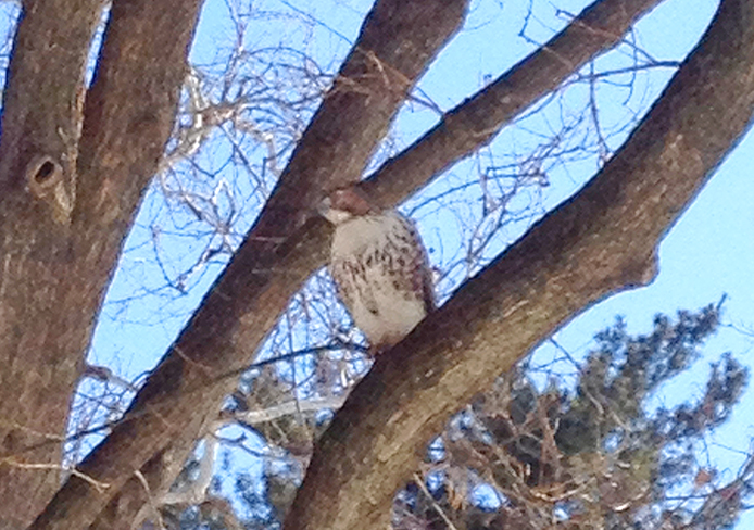 A red-tailed hawk perches on a tree on the Oval. Credit: Lee Mcclory / Lantern reporter